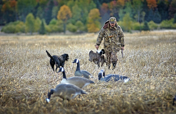 Picture of a small game hunter with dogs and birds