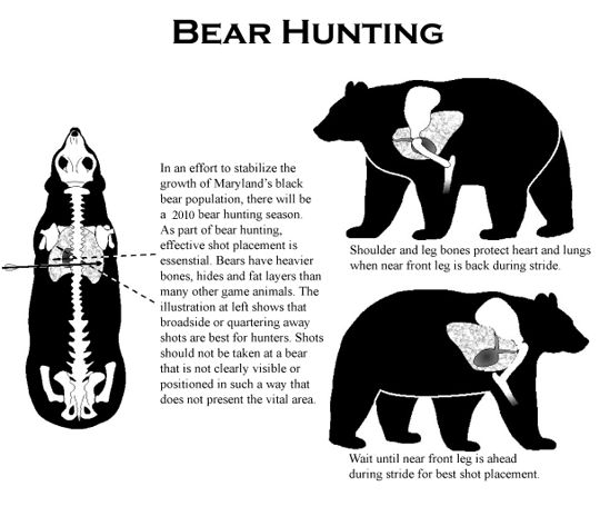 where to shoot an attacking bear