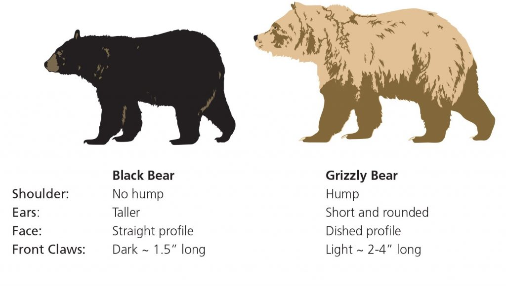 image showing the difference between different bears