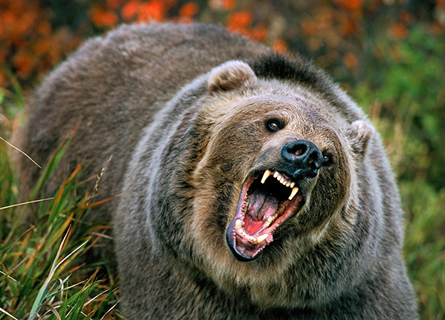 Image of an angry grizzly bear