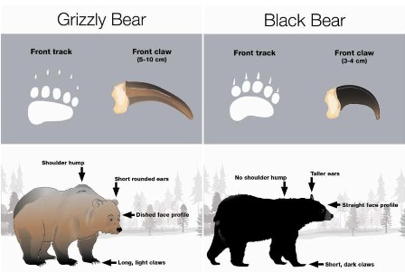 sizes of bears
