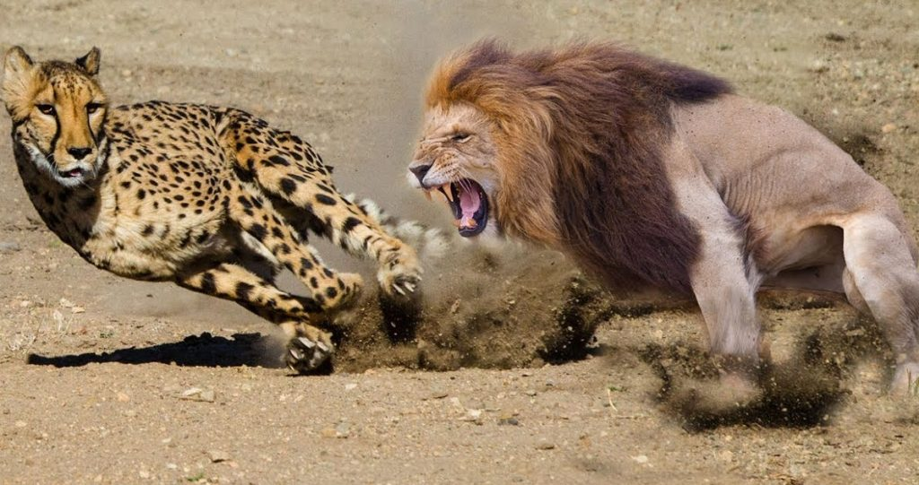 a picture of a cheetah and a lion as analogy to 9mm vs 45 acp